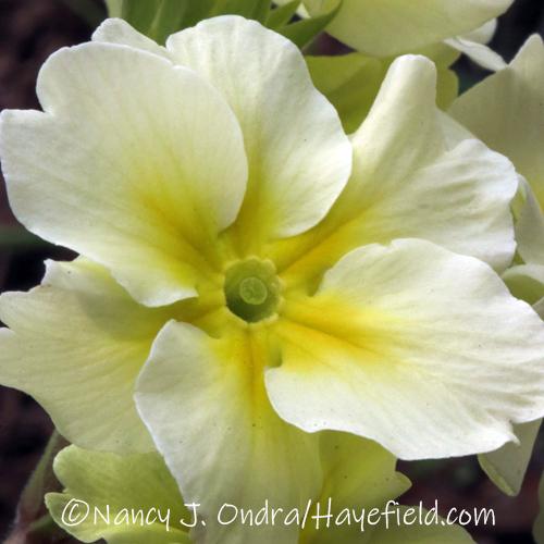 Primula Barnhaven Polyanthus Chartreuse Group
