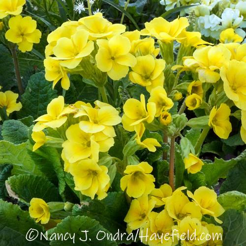 Primula Barnhaven Polyanthus Harvest Yellows Group [©Nancy J. Ondra/Hayefield.com]