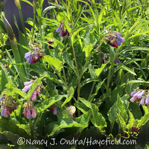 Symphytum grandiflorum in blue [©Nancy J. Ondra/Hayefield.com]
