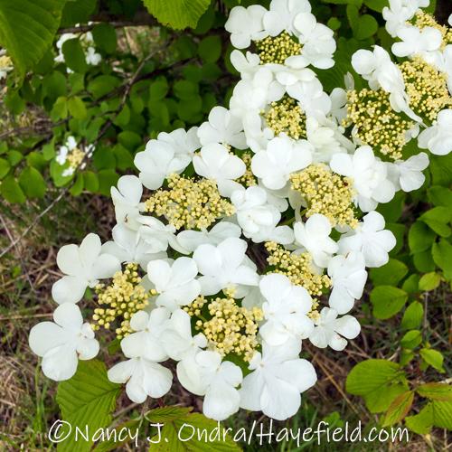 Viburnum plicatum [©Nancy J. Ondra/Hayefield.com]