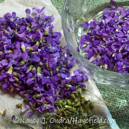 Preparing violet flowers for making syrup [©Nancy J. Ondra/Hayefield.com]