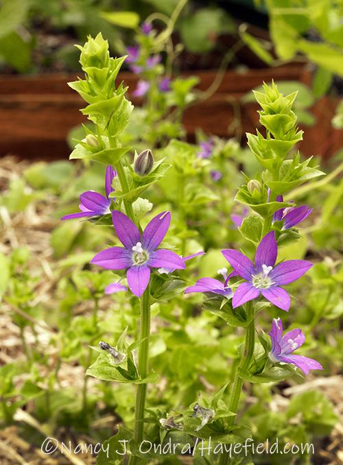 Triodanis perfoliata [Nancy J. Ondra/Hayefield.com]