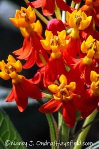 Asclepias curassavica (tropical milkweed) [©Nancy J. Ondra/Hayefield.com]