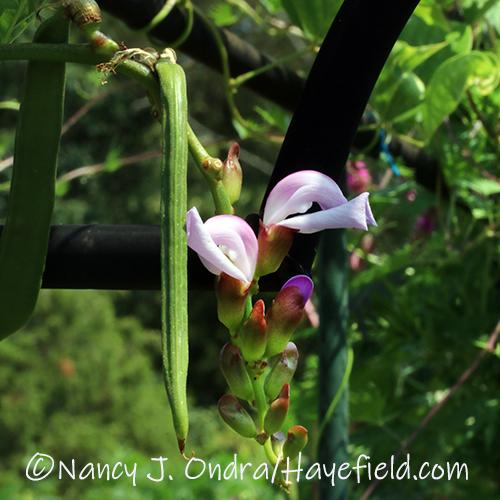 Canvalia gladiata (sword bean) [©Nancy J. Ondra/Hayefield.com]