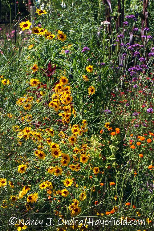 Coreopsis tinctoria (plains coreopsis) [©Nancy J. Ondra/Hayefield.com]