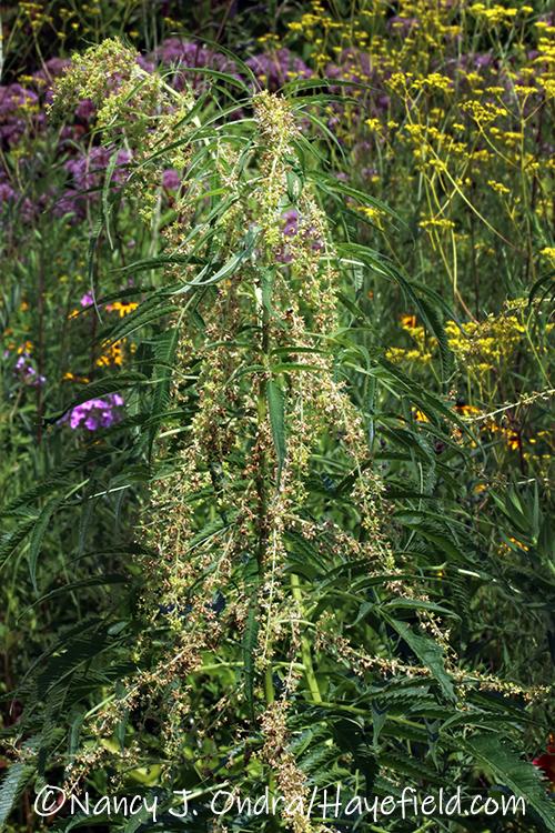 Datisca cannabina (false hemp), male [©Nancy J. Ondra/Hayefield.com]