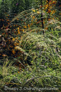 Eragrostis tef (teff) [©Nancy J. Ondra/Hayefield.com]