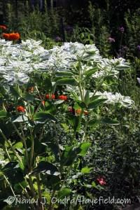 Euphorbia marginata (snow on the mountain) [©Nancy J. Ondra/Hayefield.com]