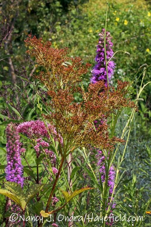Filipendula rubra (queen of the prairie) seedhead [©Nancy J. Ondra/Hayefield.com]