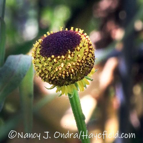 Helenium puberulum (rosilla) [©Nancy J. Ondra/Hayefield.com]