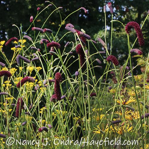 Sanguisorba tenuifolia var. purpurea (purple Japanese burnet) [©Nancy J. Ondra/Hayefield.com]