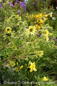 Silphium mohrii (Mohr's rosinweed) [©Nancy J. Ondra/Hayefield.com]
