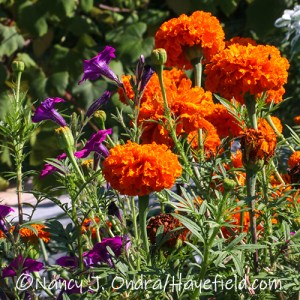 Tagetes patula 'Kees' Orange' (African marigold) [©Nancy J. Ondra/Hayefield.com]