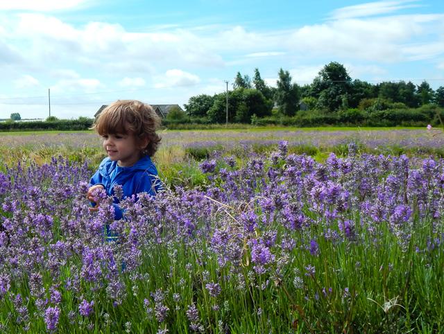 Lavender Inglenook Farm (2 of 8)