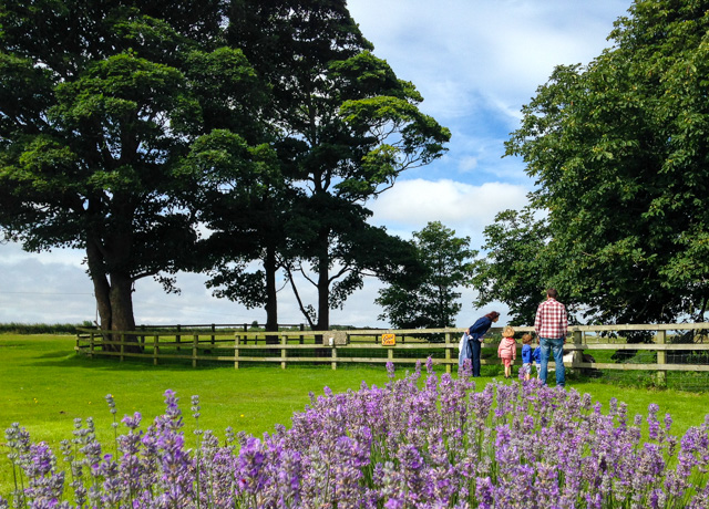 Lavender Inglenook Farm (6 of 10)