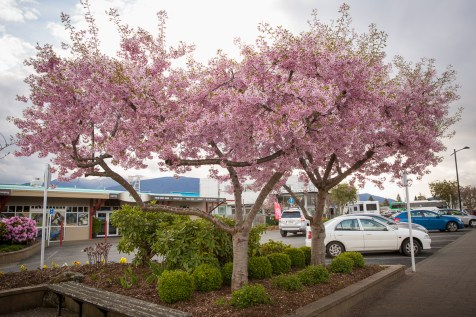 Cherry blossoms, Te Anau