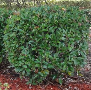Cleyera shrub
