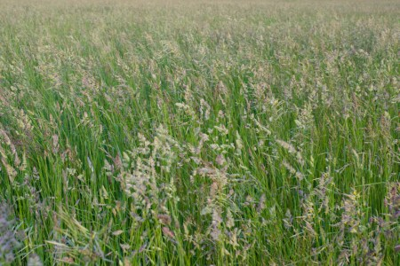 Irrigated Pasture Mix, Mona UT