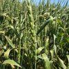 Willow Creek Wheat