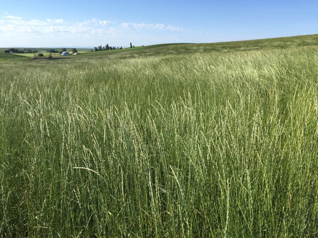 slender wheatgrass