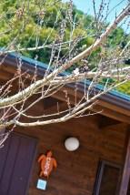 バンガロー前の桃の木