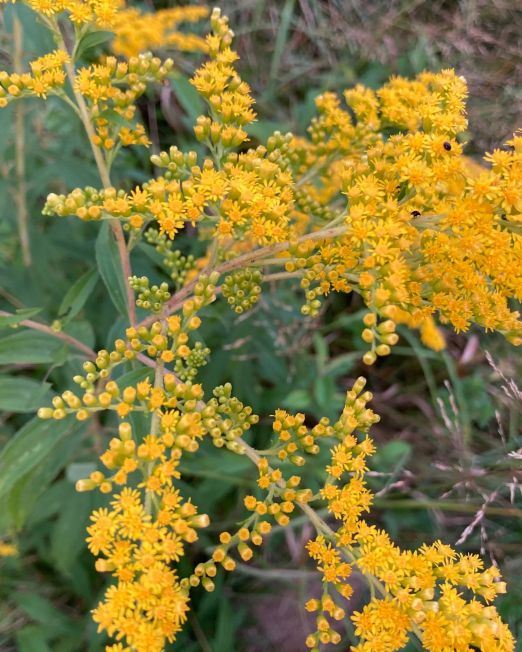 Image is top down, from about hip height, sprays of small yellow flowers in clusters off of branches stems from the center of the image, and across about one third of the frame. Below are wide lance shaped leaves and on the ground are more leaves and brown dry grasses