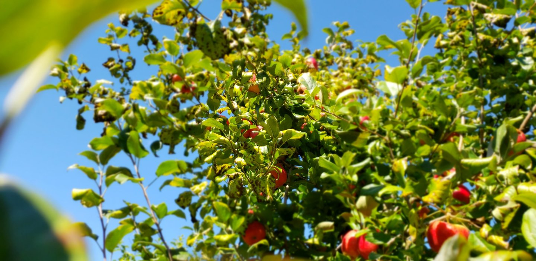 All Seasons Orchard | Apples & Pumpkins – Woodstock, IL