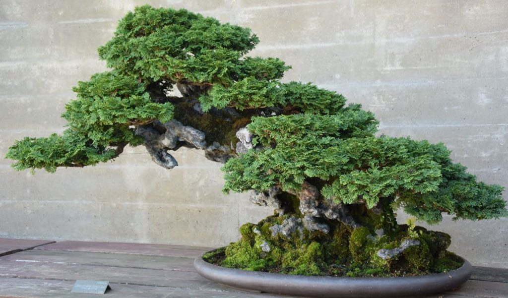 bonsai_4