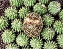 Erizo entre cactus