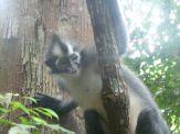 Thomas leaf monkey (North Sumatra, 2009)