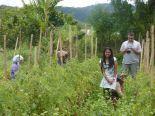 Tomato garden (North Sumatra, 2012)