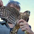 Festival of Hawks 2012