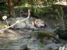 Lobo (Canis lupus) descansando a la sombra. En invierno no conseguimos verlos, esta vez había dos tumbados, dormitando ajenos a la gente de Skansen.