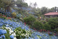 A Sea of Hydrangeas; Yohena Aijsai Garden | FUN FLYING FOUR