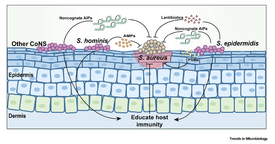 The commensal skin microbiota use various strategies to compete with S. aureus.