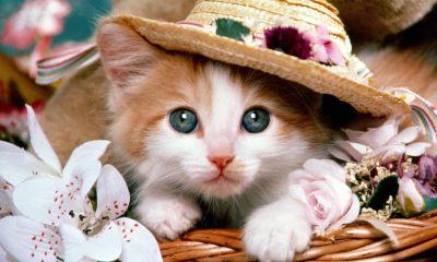 Kitten Wears Hat