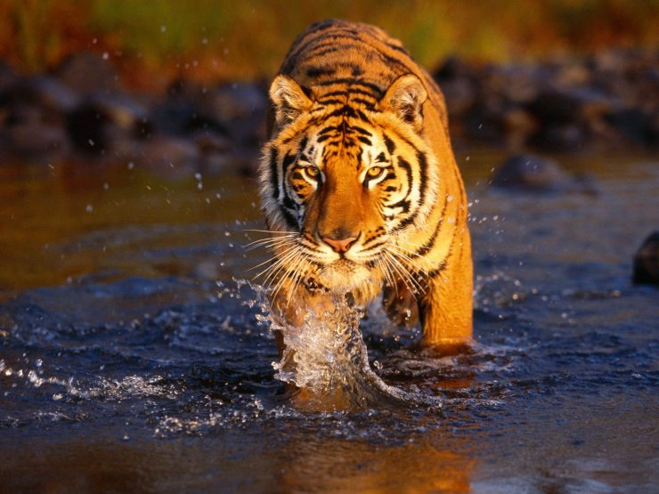 Best Tiger Picture
