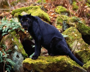 Black Tiger Picture Photo