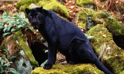 Black Tiger Picture Photo