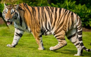 Free Tiger Picture To Download