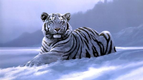 Picture Of Albino Tigers