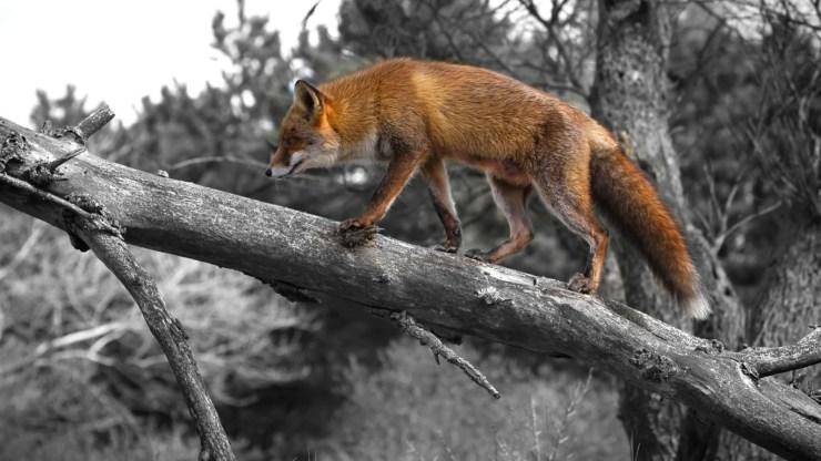 fox wallpaper 511564167