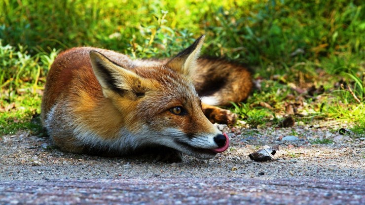 fox wallpaper 511564170