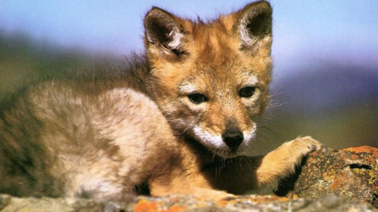 fox wallpaper 511564175