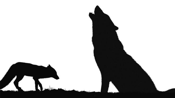 fox wallpaper 511564176
