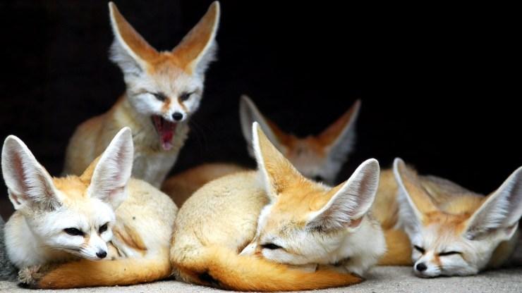 fox wallpaper 511564178