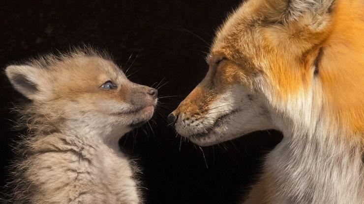 fox wallpaper 511564182