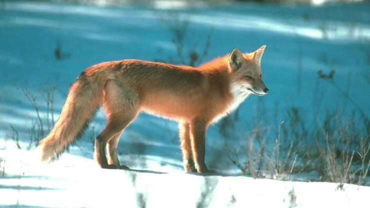 fox wallpaper 511564188