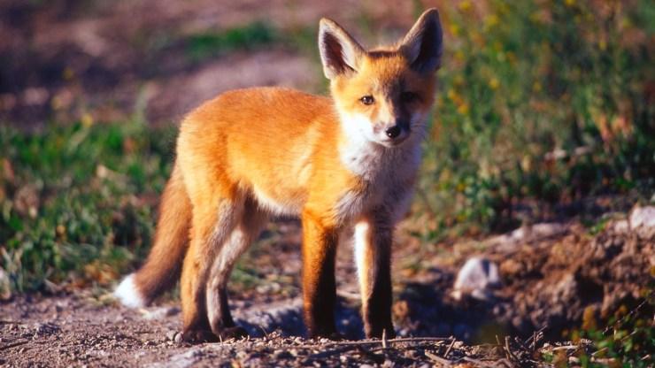 fox wallpaper 511564192