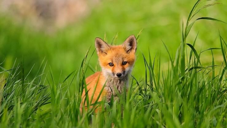 fox wallpaper 511564194